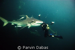 underwater photographer with tiger shark by Parvin Dabas