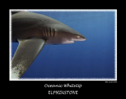 oceanic whitetip - elphinstone - egypt