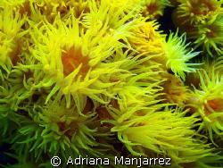Orange Cup Coral, Las Cabos, Mexico by Adriana Manjarrez