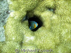 Juvenille Queen Angelfish in the coral on the Inside Reef... by Michael Kovach