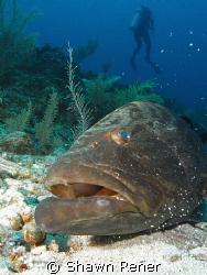 Black Gouper (Mycteroperca bonaci) Ambergris Caye, Belize 08 by Shawn Rener