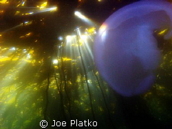 Moon Jelly being lighted by a sun ray coming through the ... by Joe Platko