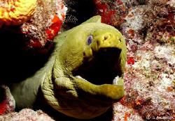 This Green Moray Eel let me take a quite a few photos of ... by Steven Anderson