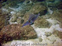 squid with nice motion and color by Rashid Al-Ahmedi