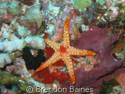 Red Starfish Shot with conan g9 using standard casing and... by Brendon Baines