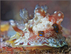 Dendrodorididae nudibranch (Dendrodoris denisoni) - Seray... by Marco Waagmeester