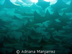 Mantas at Cabo Pulmo, a protected area, full of see life. by Adriana Manjarrez