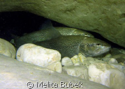 trout couple under Napoleon Bridge, Kobarid/Canon G9, in-... by Melita Bubek