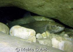 trout couple under Napoleon Bridge, Kobarid/Canon G9, in-... by Melita Bubek