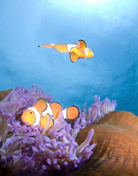 A close focus wide angle shot of clownfish.  Taken with a... by Cal Mero
