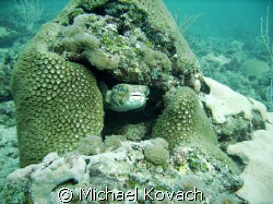 Puffer fish peeking out from coral on the first reefline ... by Michael Kovach