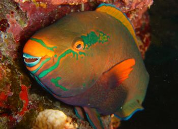 Parrot Fish, Night Dive , Similan Islands, Thailand.  Son... by Hilal Matta