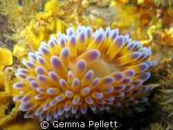 Common Name: Gas Flame Nudibranch Scientific Name: Bonis... by Gemma Pellett