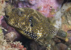 Map pufferfish. Lembeh straits. D200, 60mm. by Derek Haslam