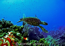 Turtle at Grand Cayman.  Photo taken August 2008 with a C... by Bonnie Conley