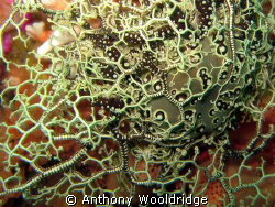 Basket Star on some noble coral, taken at Avalanche Reef ... by Anthony Wooldridge