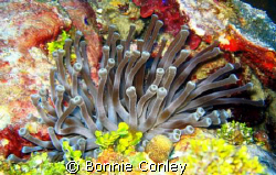 Anemone seen in Grand Cayman August 2008.  Photo taken wi... by Bonnie Conley