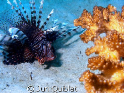 Lion Fish, Agutayan Reef, Jasaan, Mis. Or. by Jun Quiblat