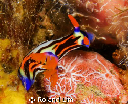 Purple Lined Nembrotha tucking into a hearty sponge meal! by Roland Lim