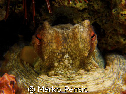 Common Octopus (octopus vulgaris) by Marko Perisic