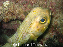 Puffer Fish by Richard Toward