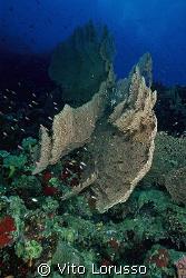 Corals - Subergorgia hicksoni by Vito Lorusso