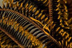 Crinoid Shrimp.  Wakatobi, SE Sulawesi.  Canon 40D, Canon... by Ross Gudgeon