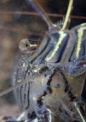 Common prawn. Trefor pier. D200, 60mm. by Derek Haslam