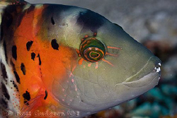 Redbreasted Maori Wrasse.  Wakatobi, SE Sulawesi.  Canon ... by Ross Gudgeon
