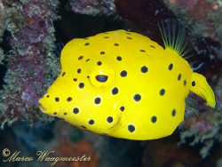 Cute little Boxfish (Ostracion cubicus) - (Canon G9, Inon... by Marco Waagmeester