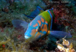 called the Donzella Pavonina ---  it's one of the most co... by Andrea Severino