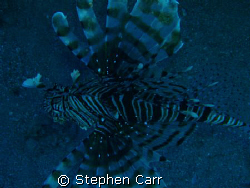 i took this photo of a Lion fish on Ras Bob Reef, by Stephen Carr