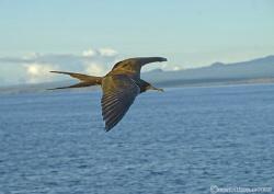 Frigate bird. Cape Marshall, Galapagos. S5 & 18-200mm. by Mark Thomas