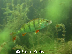 A freshwater Perch at a lake near by, taken with Canon S7... by Beate Krebs