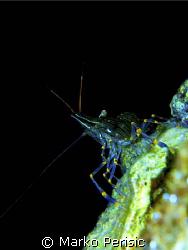 Elegant Shrimp (palaemon elegans) by Marko Perisic