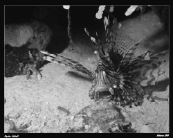 Black and White conversion in PS3.  Lionfish in the Reef.... by Stephen Holinski