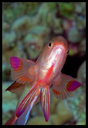 Anthias or butterfly? by Dray Van Beeck