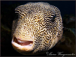 Encounter with a Map Pufferfish (Arothron mappa) during d... by Marco Waagmeester