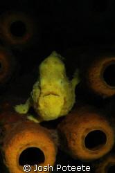 Yellow Frogfish shot with Nikon D70/Nikor 60mm. by Josh Poteete