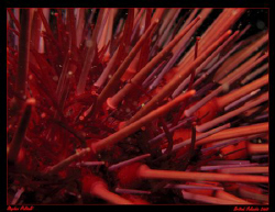 Urchin Abstract.  Cold Water's of British Columbia, Canad... by Stephen Holinski