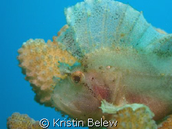 Leaf Scorpionfish blending perfectly with coral.  Near Ul... by Kristin Belew