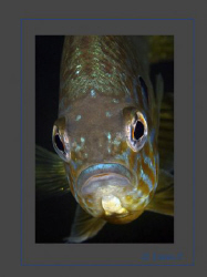 Introduced in Swiss lakes, a curious Pumpkinseed by Sven Tramaux