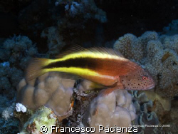 Blackhawkfish on heavy coral. Taken with Nikon D60 in Eas... by Francesco Pacienza