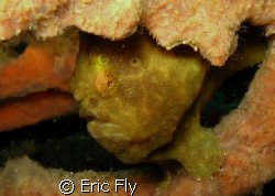 Heres looking at you.  TK 2, Lembeh Strait.  To many frog... by Eric Fly