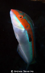 A small but colorful fish that likes to poke at scuba div... by Andrea Severino