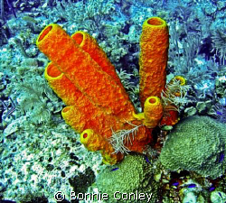 Stove-pipe sponges seen in Grand Cayman August 2008.  Pho... by Bonnie Conley