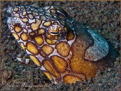 Napoleon Snake Eel (Ophichthus bonaparti) at Puri Jati, B... by Marco Waagmeester