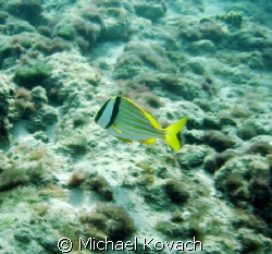 Porkfish on the Inside Reef at Lauderdale by the Sea by Michael Kovach