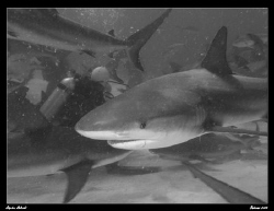 Shark Feed Action. BW done in PS3.  Canon G7 by Stephen Holinski
