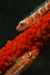 Whip coral gobies. Picture taken on the second reef off N... by Anouk Houben